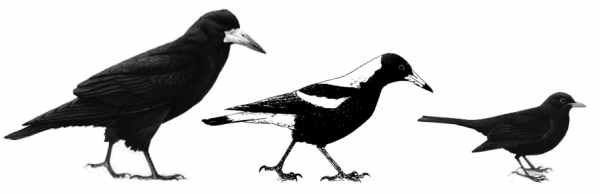 Size difference of the Rook from left to right: Rook,  Magpie and Blackbird