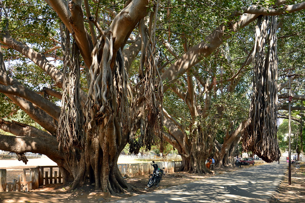 India - Tamil Nadu - Vellore - Kannamangalam - Giant Banyan Trees
