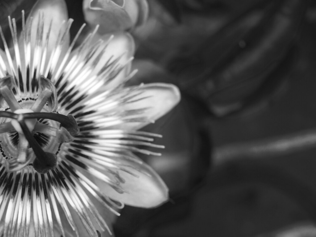 Black And White Passion Fruit Flower I Took This Picture I Flickr