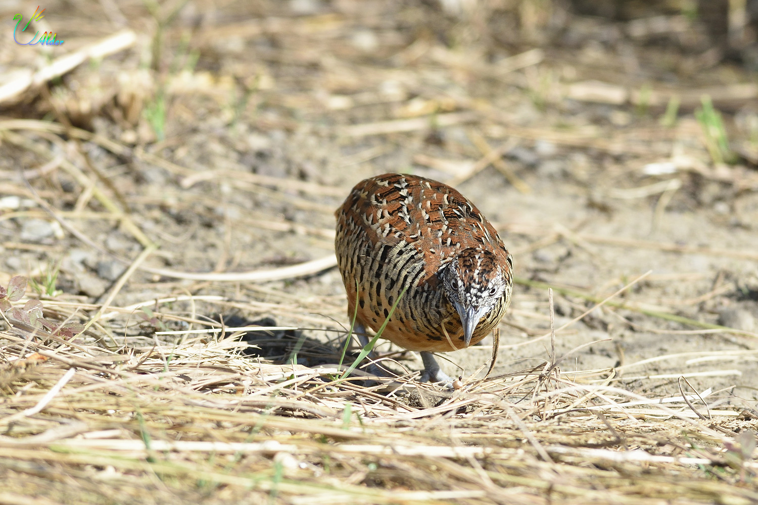 Barred_Buttonquail_2613