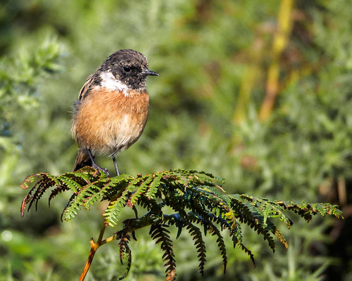 stonechat 20-9-15 new perch | by Brian Wadie Photographer