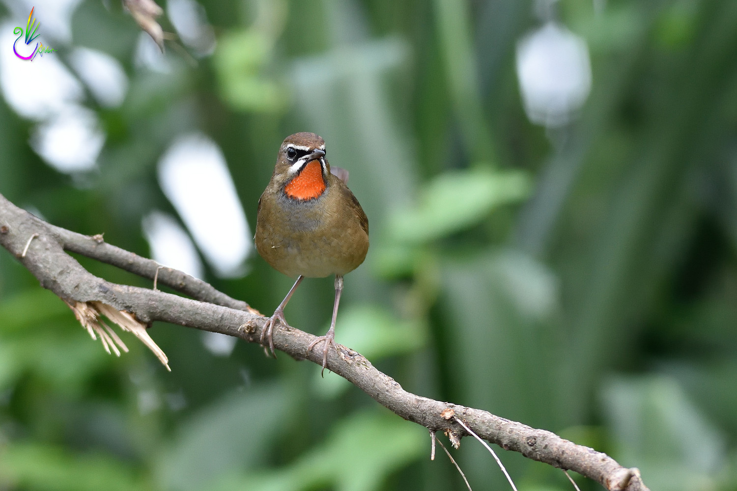 Rubythroat_2639