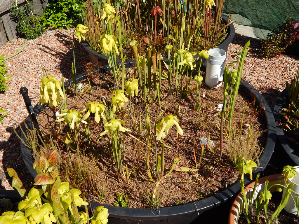 The newest Sarracenia bog   Mostly Sarracenia flava with a c…   Flickr