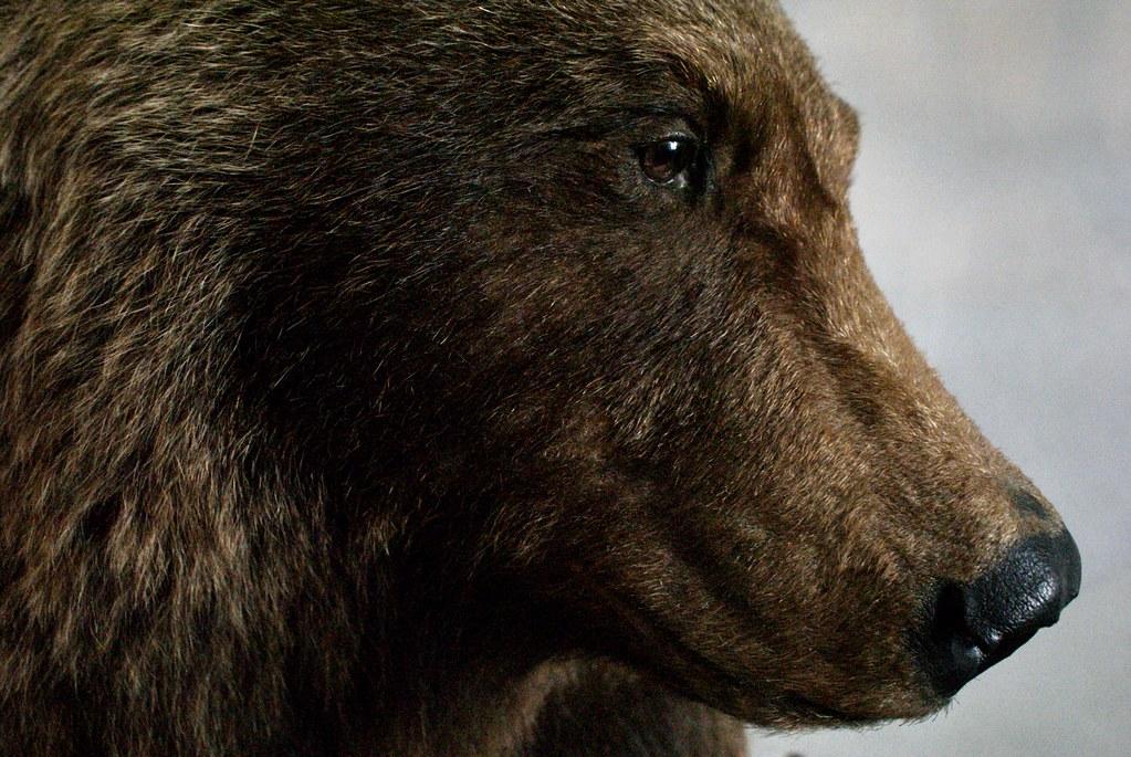 Ours brun empaillé du musée des Tatras à Zakopane. Il reste de nombreux ours vivant dans les Carpates polonaises et slovaques.