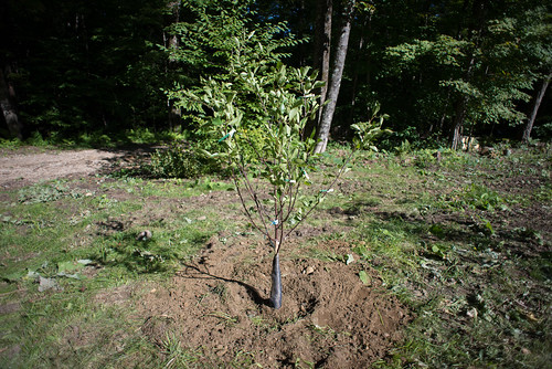Freshly Planted Mesabi Cherry Tree | by goingslowly
