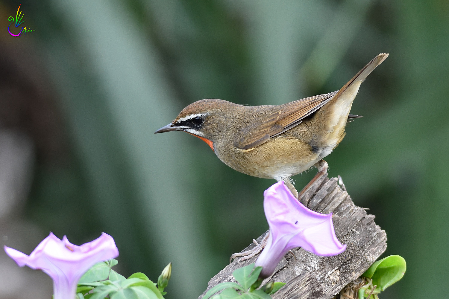 Rubythroat_2670