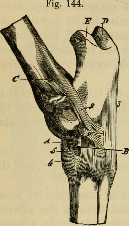 Image From Page 265 Of The Comparative Anatomy Of The Dom Flickr