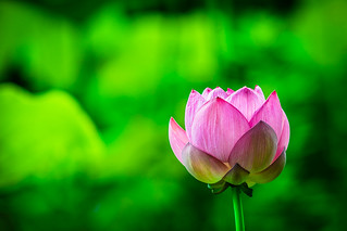 Lotus flower | by aotaro