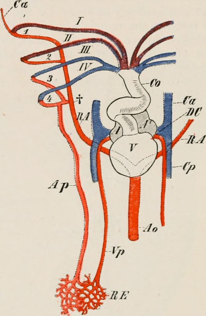 Image From Page 311 Of Elements Of The Comparative Anatom Flickr