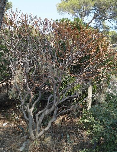 Euphorbia dendroides - euphorbe arborescente 30041396515_9b5b3d64df