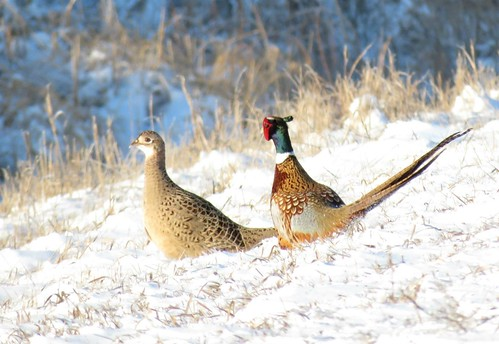 Ring-necked Pheasants | by U.S. Fish and Wildlife Service - Midwest Region