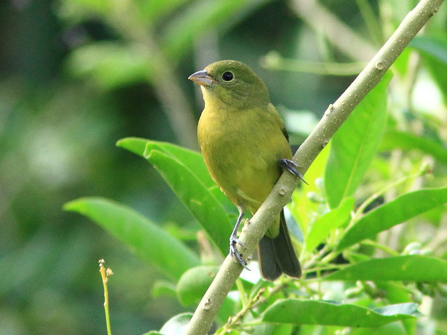 Painted Bunting female 5-20151016