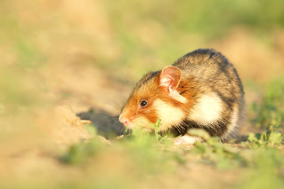 hamster | by bobby3101985