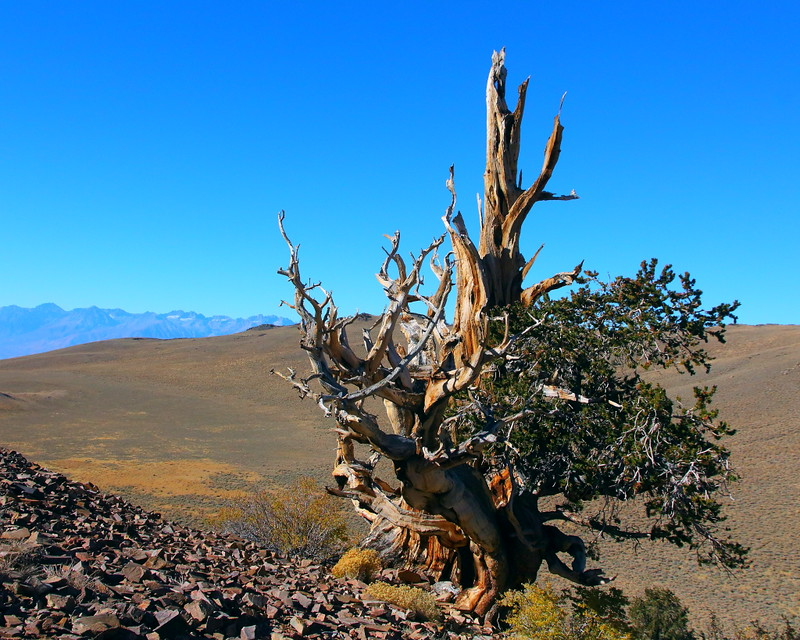 IMG_1882 Great Basin Bristlecone Pine