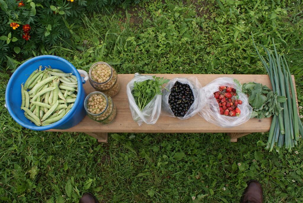 Récolte du jour dans le jardin de mon oncle.