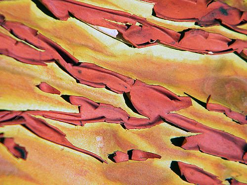 Arbutus bark patterns in dark red and green (Vancouver Island, BC, Canada)