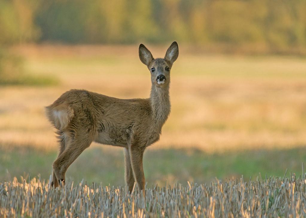 juvenile roe deer doe i always find it challenging to capt flickr