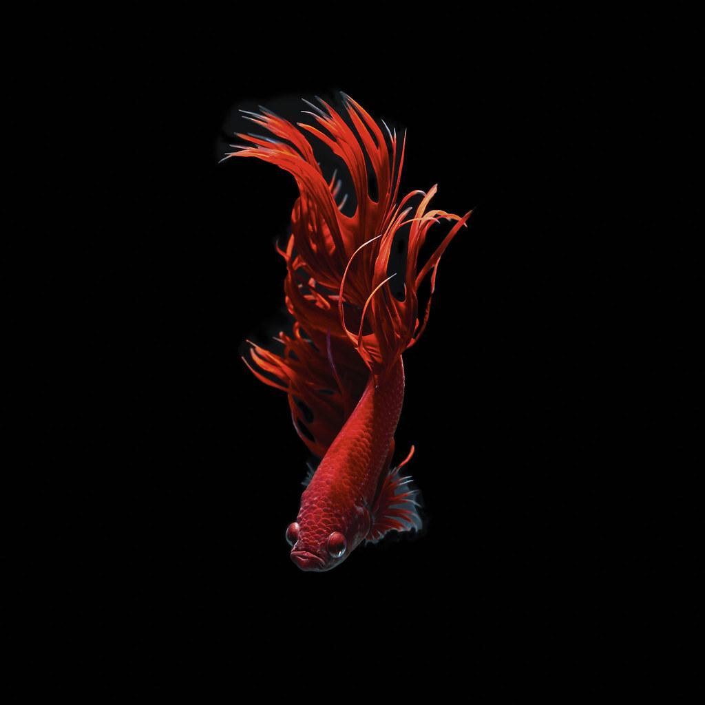Betta fish | Betta fish, siamese fighting fish, betta splend… | Flickr