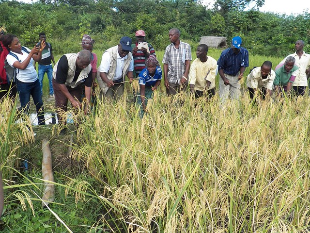 Launch of the rice harvest
