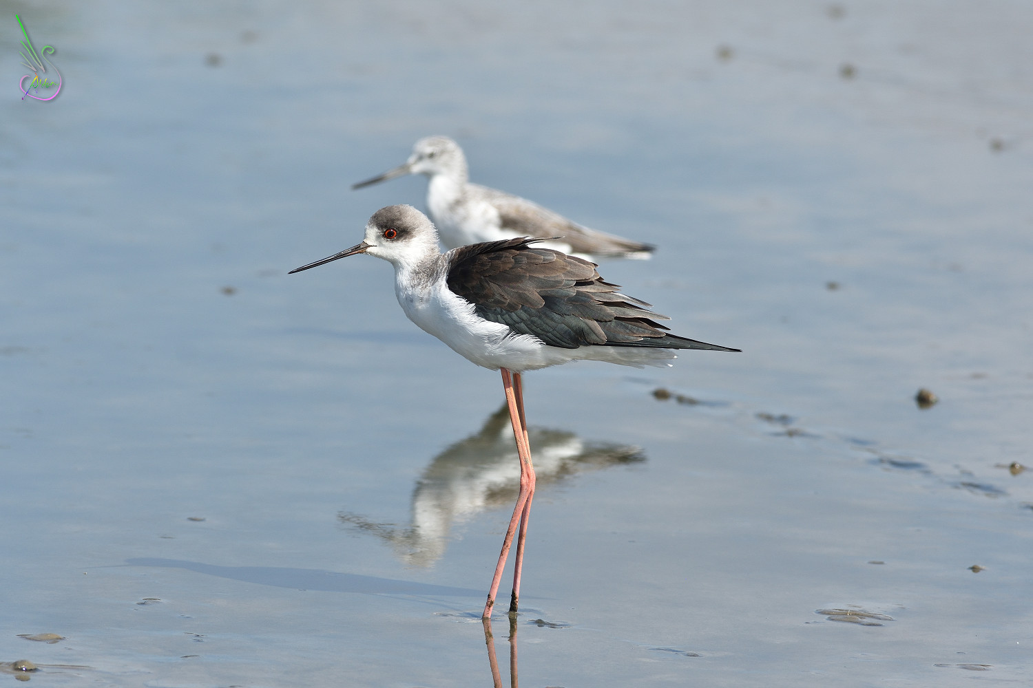 Black-winged_Stilt_1414