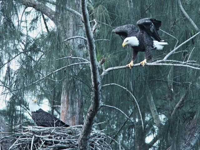 Bald Eagles L-R Male and Female 20151024