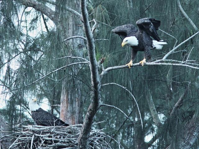 Bald Eagles L-R Male and Female 20151024