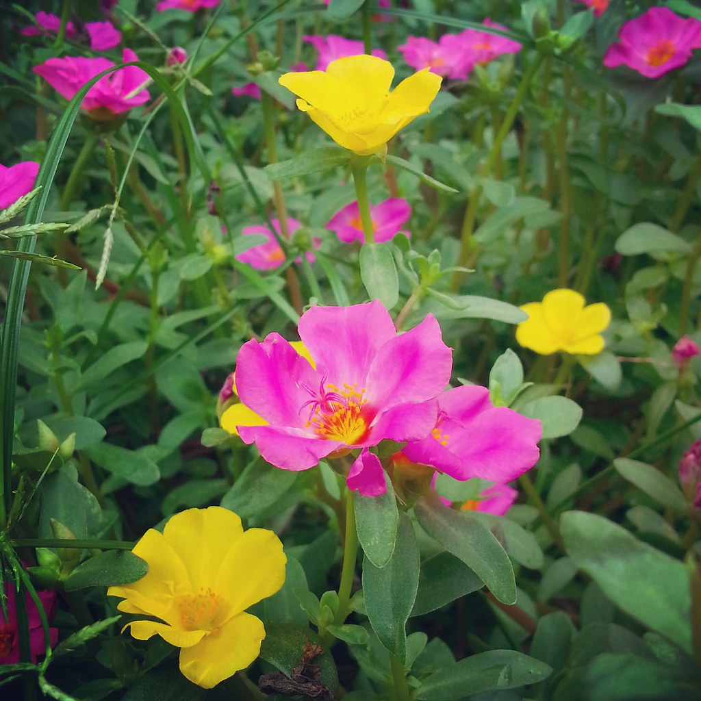 Yellow And Pink Flowers Jnzls Photos Flickr