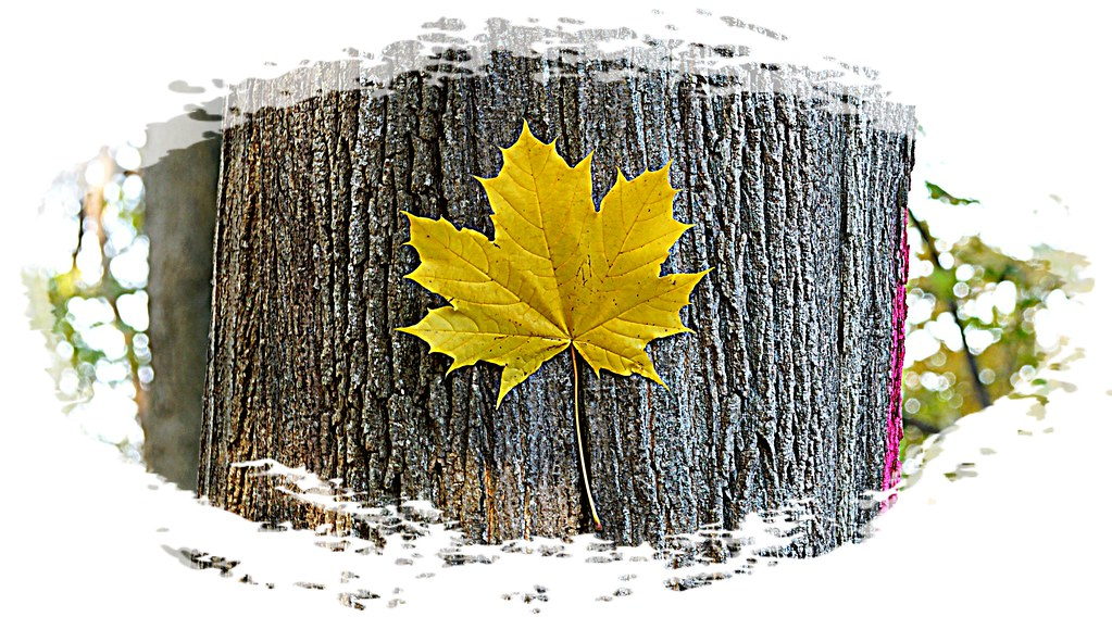 Canadian Winter Maple Symbol Of Strength And Endurance Flickr