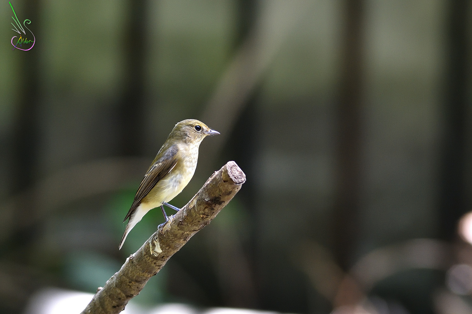 Narcissus_Flycatcher_8022