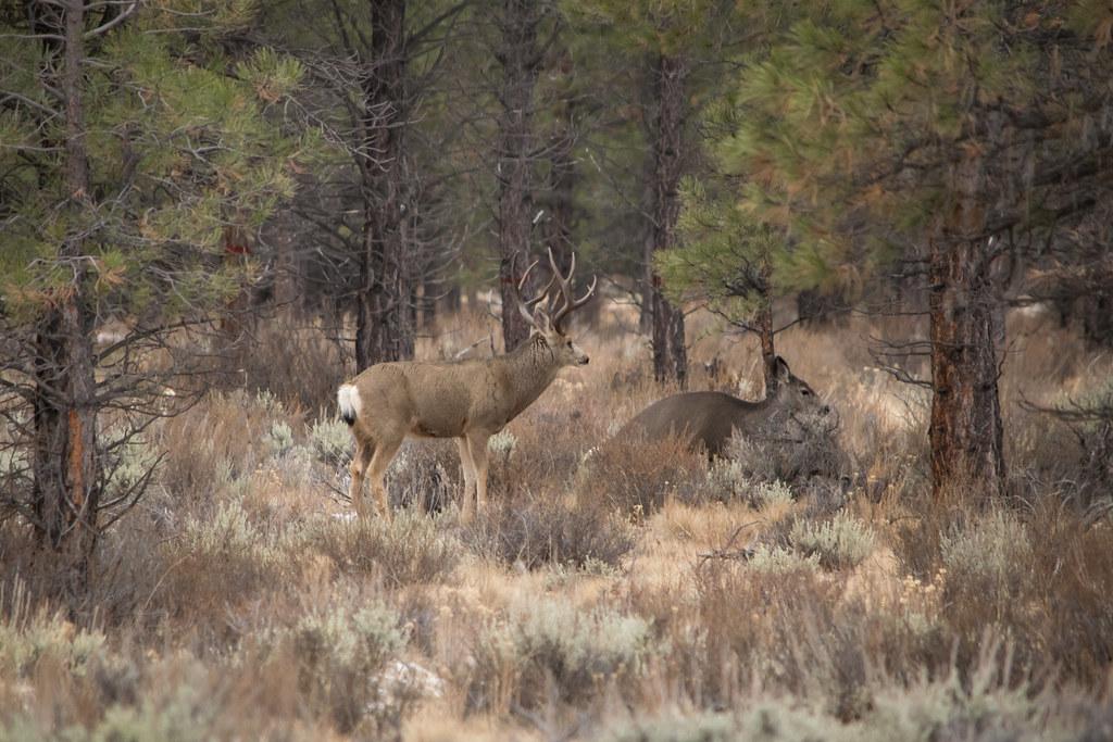 buck and doe mule deer in central oregon jon nelson flickr