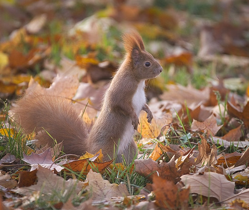 Red squirrel | by hedera.baltica