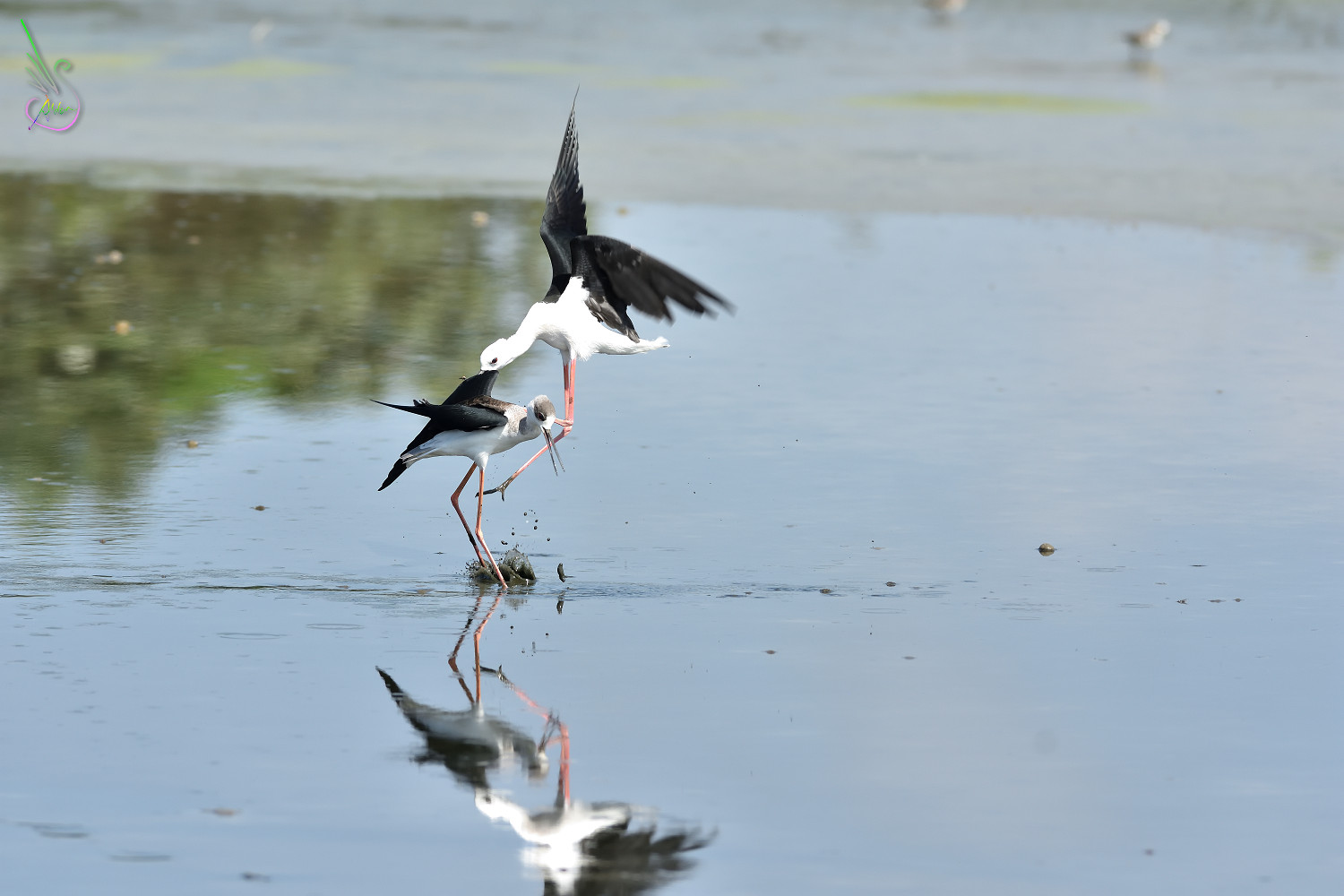 Black-winged_Stilt_1431