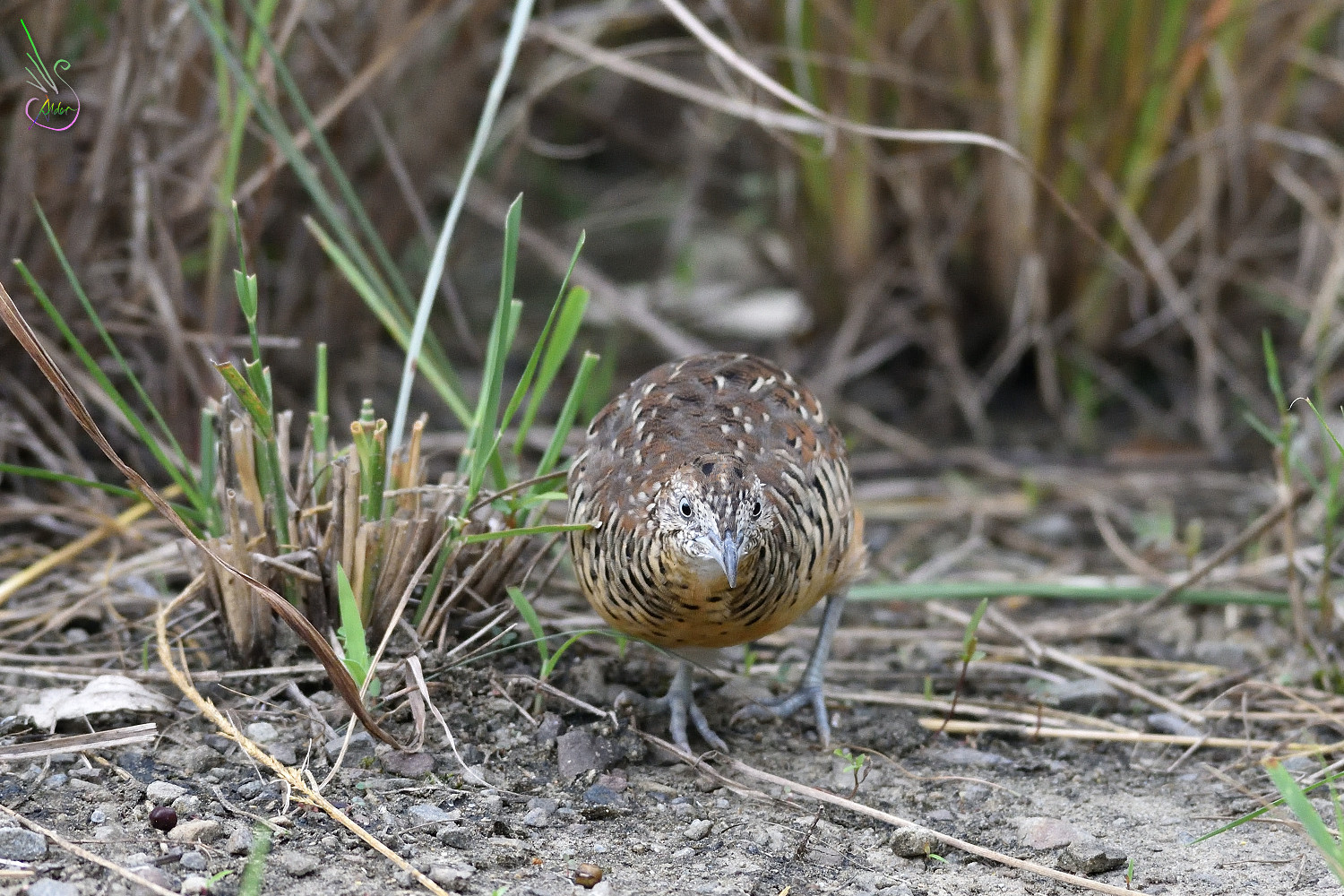 Barred_Buttonquail_1797
