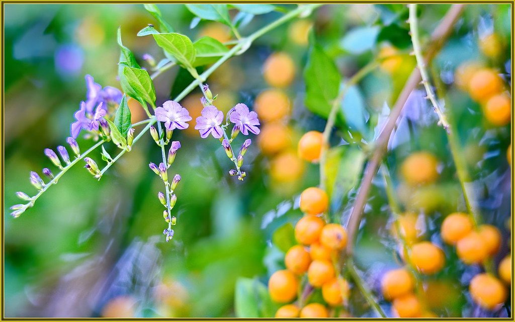 purple flowers to yellow berries  these cool little flowers…  flickr, Beautiful flower
