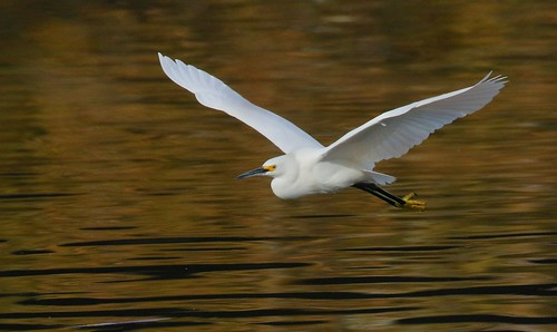 Snowy Egret | by Steve Cirone