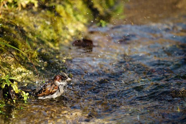 Sparrow taking a bath