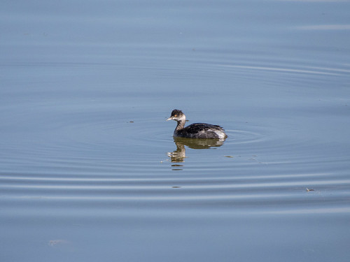 Eared grebe (winter)