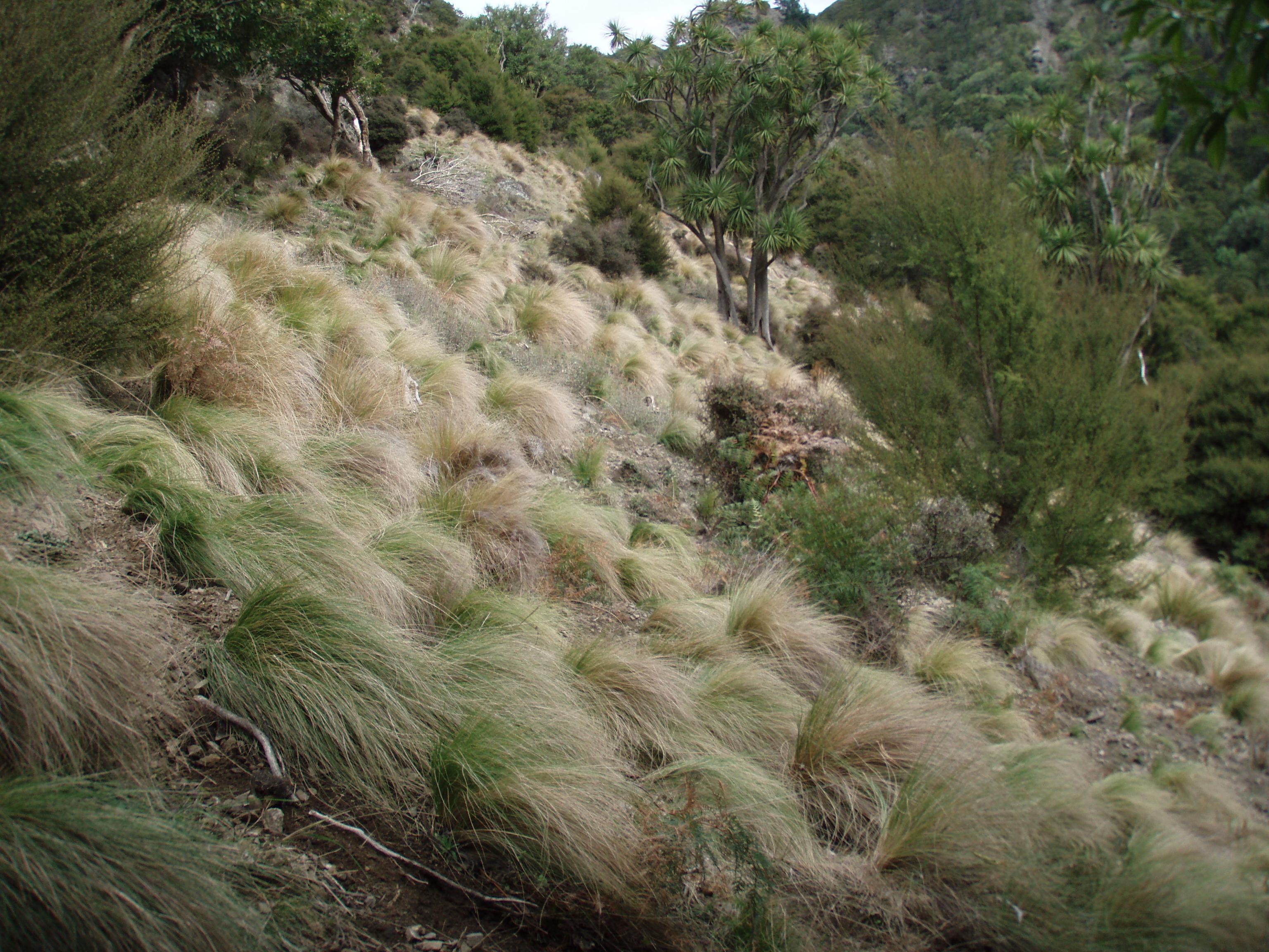 Nassella tussock on hillside.