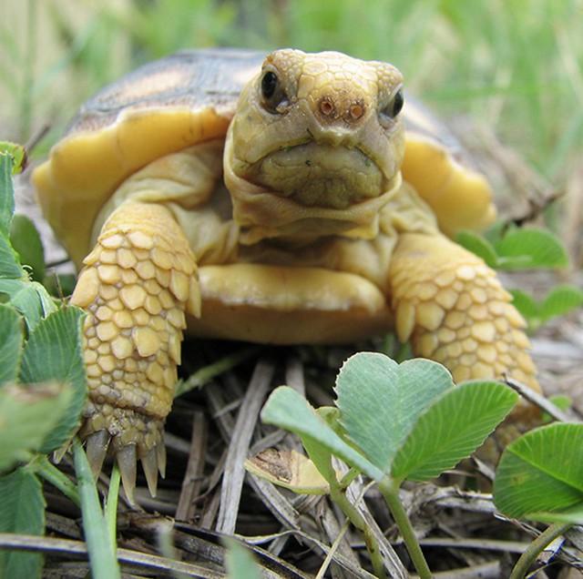 Grumpy baby gopher tortoise