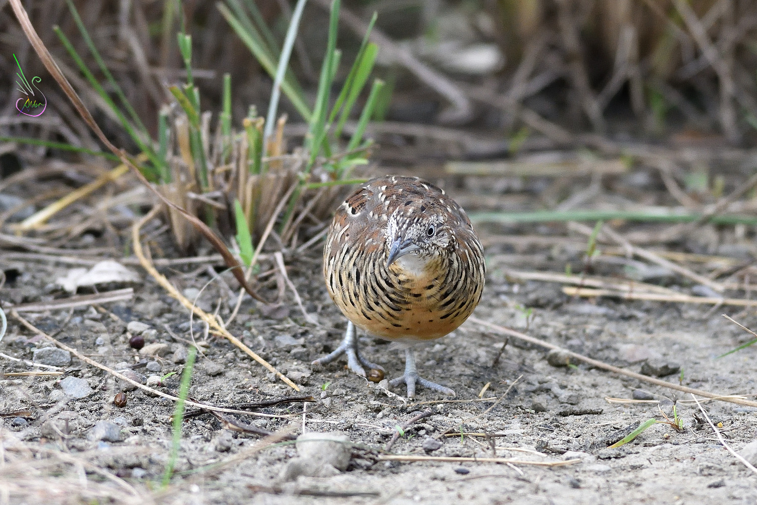 Barred_Buttonquail_1801