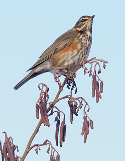 D124344 Redwing | by Nick Sidle