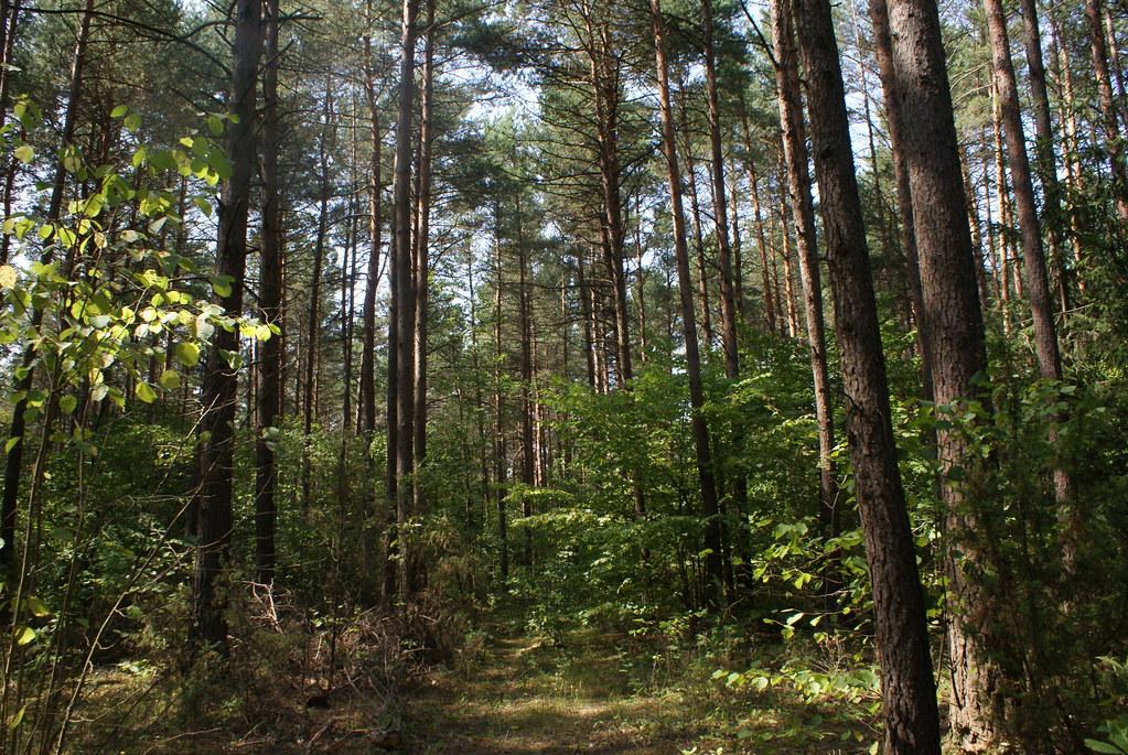 La forêt occupe plus de la moitié du territoire biélorusse.