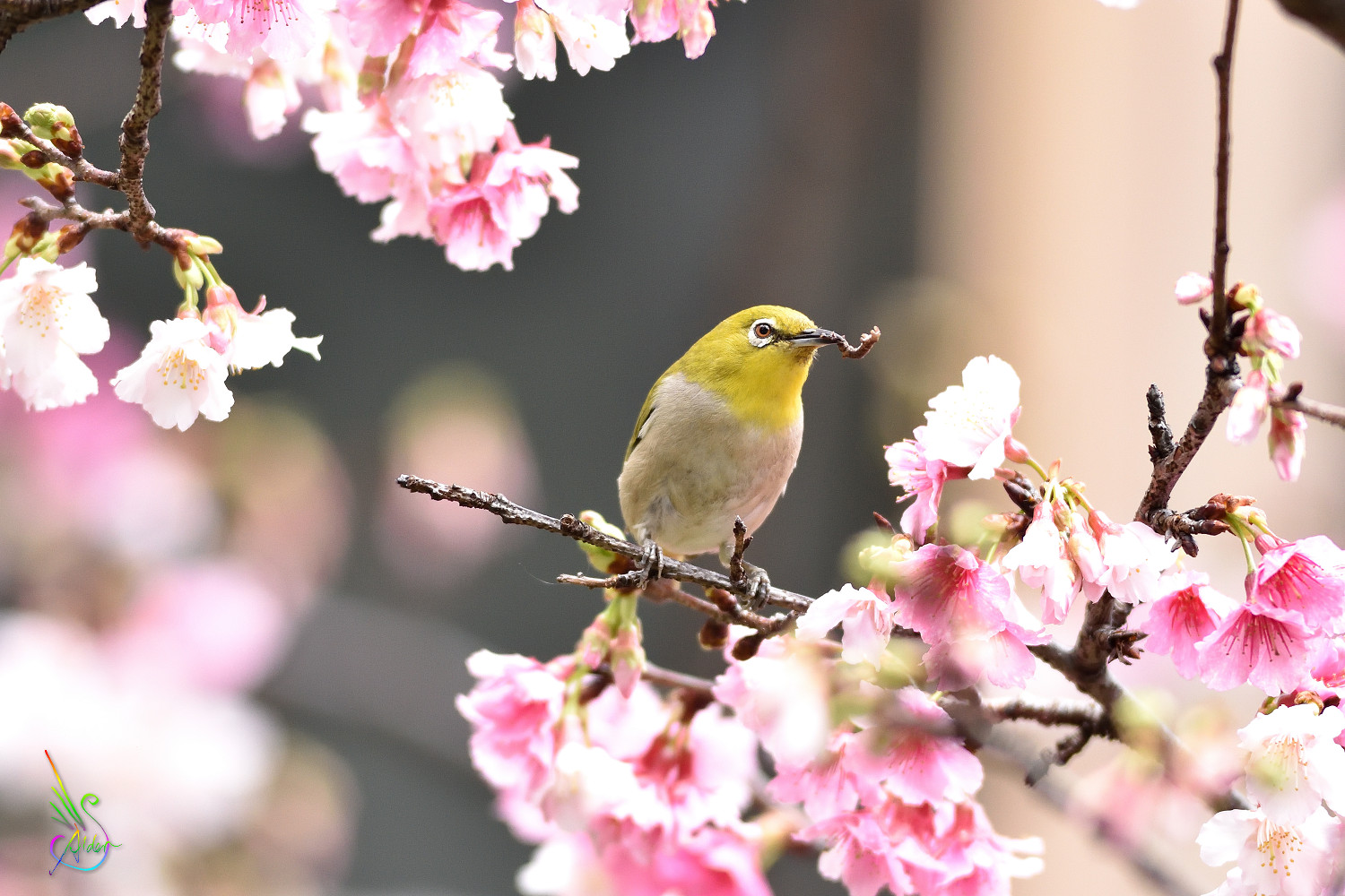 Sakura_White-eye_9704