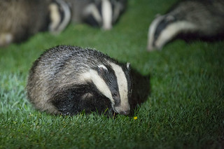 D681207 Eurasian Badgers | by Nick Sidle