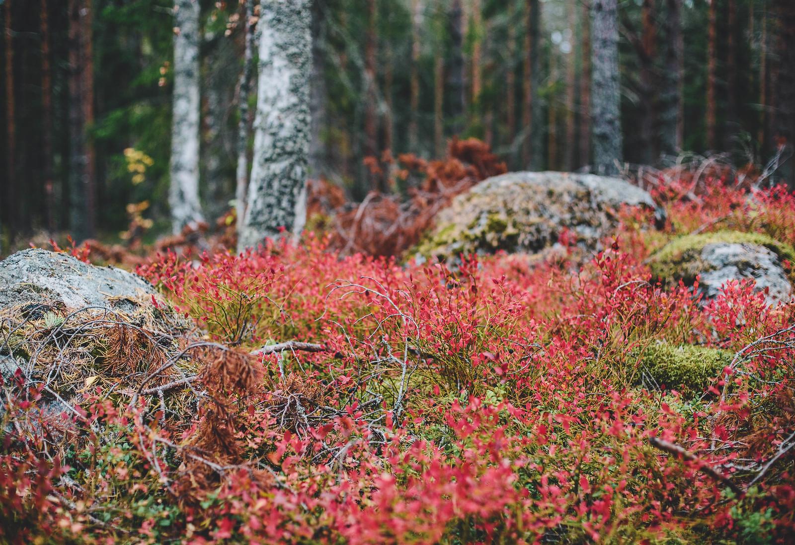 Blåbärsris - Evelinas Ekologiska