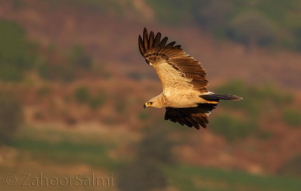 Tawny Eagle The Tawny Eagle Aquila Rapax Is A Large Bird Flickr