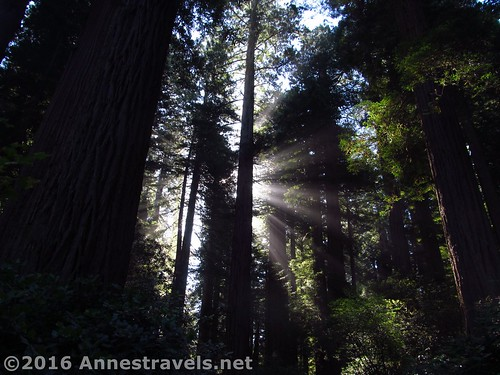 Early morning sunshine at the Lady Bird Johnson Grove in Redwood National Park, California
