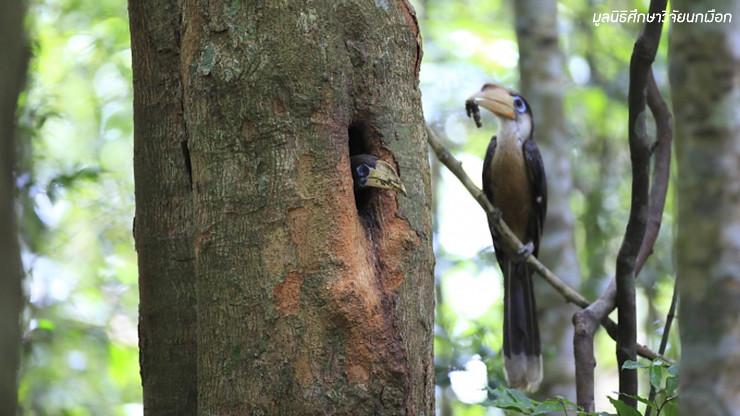 มหัศจรรย์ 60 ล้านปี นกเงือกกับความยั่งยืนของระบบนิเวศป่า
