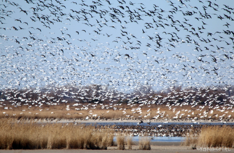 IMG_7946SnowGeese