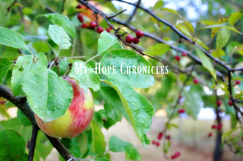 Autumn Apples @ Mt. Hope Chronicles